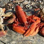 Búsqueda de comida y buceo en la costa - Paella de langosta, cangrejo y camarones Cocina en la playa